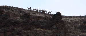 Bighorn sheep on the canyon rim